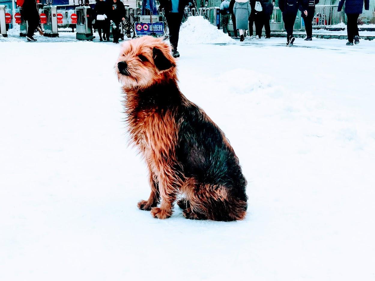 大运村路口的狗